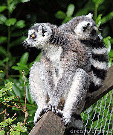 Free Ring-tailed Lemur Royalty Free Stock Image - 8381296