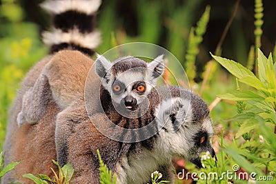 Ring tailed lemur baby