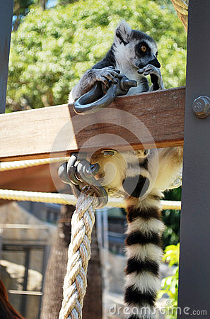 Ring-tailed lemur bachelor showing consideration and curiosity in Taronga zoo Stock Photo