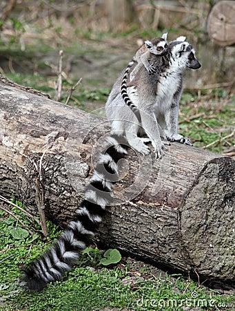 Free Ring Tailed Lemur Family Stock Image - 13683041