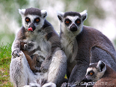 Ring-tailed lemur family with just born baby