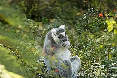 A Ring-tailed Lemur Feeding Stock Photography - Image: 7138932