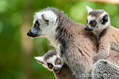 Ring-tailed Lemur With Her Cute Babies Royalty Free Stock Photography - Image: 20125137