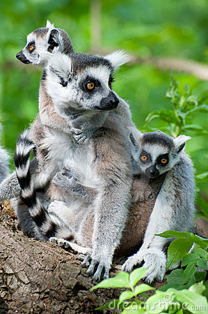 Ring-tailed lemur with her cute babies