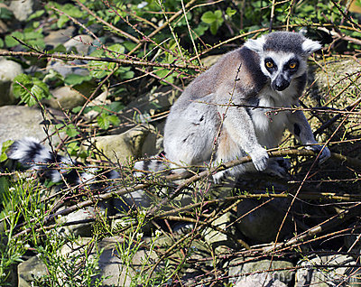 A ring tailed lemur (Lemur Catta)