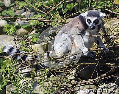 A ring tailed lemur (Lemur Catta)