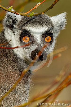 Free Ring-tailed Lemur (Lemur Catta) Stock Images - 24288824