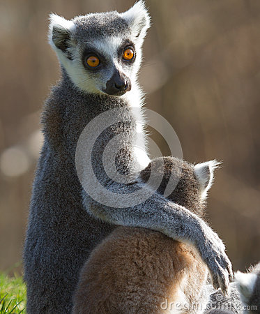 Free Ring-tailed Lemur (Lemur Catta) Stock Images - 24759024