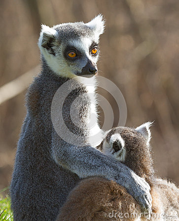 Free Ring-tailed Lemur (Lemur Catta) Royalty Free Stock Photography - 25093537