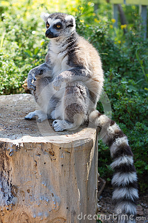 Free Ring Tailed Lemur (lemur Catta) Royalty Free Stock Photo - 35128655