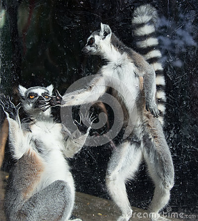 Free Ring-tailed Lemur (Lemur Catta) Royalty Free Stock Photo - 36178445