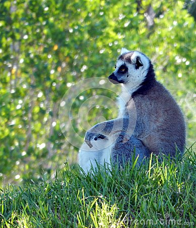 Free Ring-tailed Lemur (Lemur Catta) Royalty Free Stock Images - 42345799