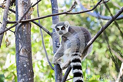 Ring-tailed lemur, lemur catta, anja