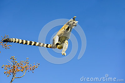 Ring-tailed lemur, lemur catta, anja