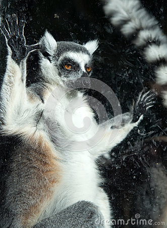 Free Ring-tailed Lemur (Lemur Catta) Behind A Glass Aviary Zoo Stock Images - 34906514