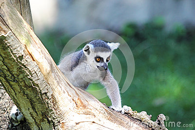 Ring-tailed lemur (Lemur catta) climbing a log
