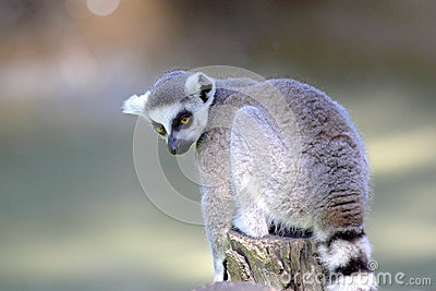 Ring-tailed lemur (Lemur catta) sitting on a log