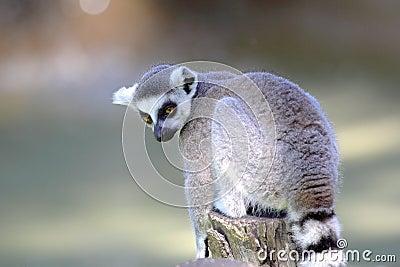 Ring-tailed lemur (Lemur catta) sitting on a log