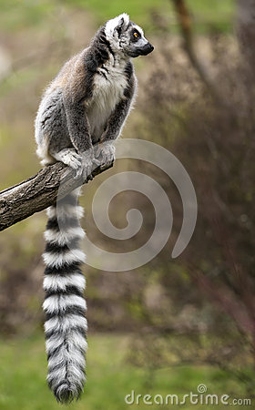Free Ring-tailed Lemur (Lemur Catta) Sitting On The Tree Branch. Stock Photos - 70502503