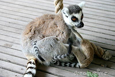 Ring-tailed Lemur mother and playing twins