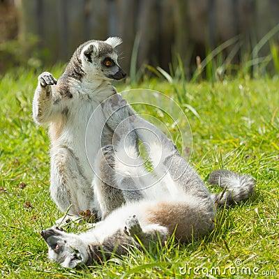 Ring-tailed lemur playing