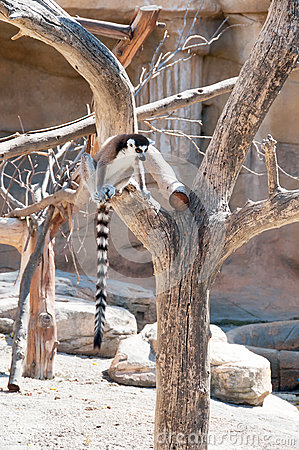 Ring tailed Lemur sitting