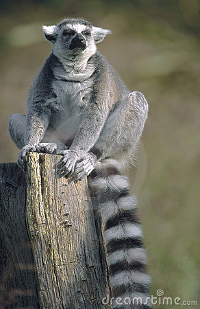 Ring-tailed Lemur sitting with eyes closed