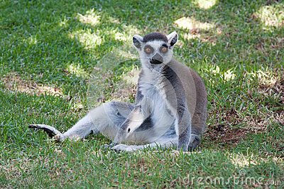 Ring Tailed Lemur Sitting in the grass