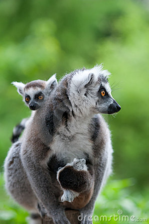 Free Ring-tailed Lemur With Her Cute Babies Royalty Free Stock Photo - 20124865