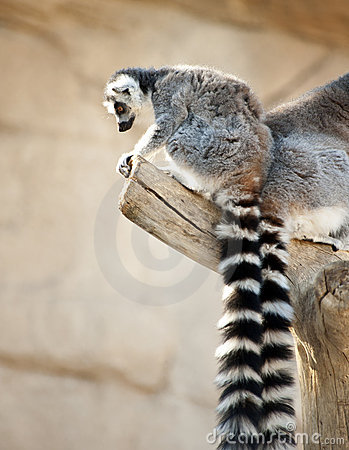 Free Ring Tailed Lemurs Royalty Free Stock Images - 21693349