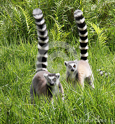 Free Ring-tailed Lemurs Stock Photography - 32208472