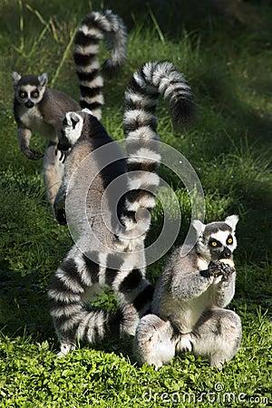 Free Ring-tailed Lemurs Royalty Free Stock Photos - 62491258