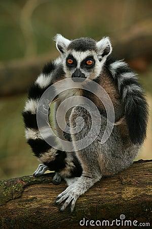 Free Ring Taled Lemur Monkey Stock Photo - 13866410
