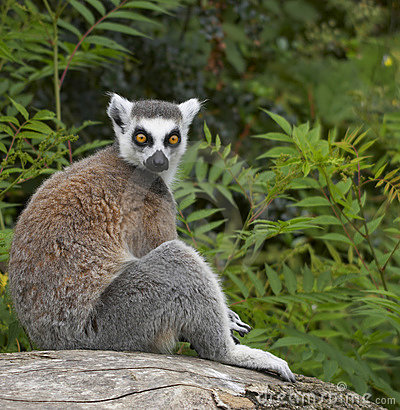 Free Ringed-tailed Lemur Stock Photo - 2433750