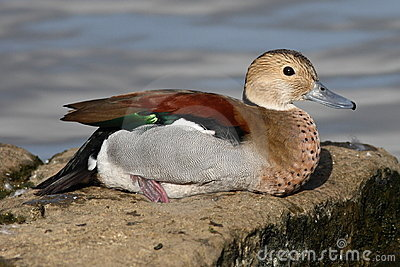 Ringed Teal duck