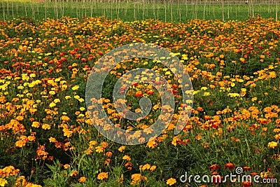 Ringelblumen-Feld