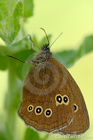 Free Ringlet Butterfly Stock Photos - 15127713
