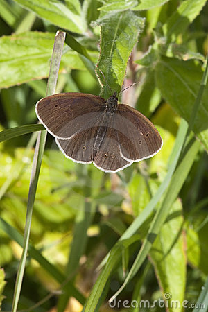 Free Ringlet Butterfly Stock Photos - 19931183