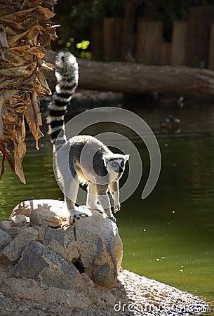 Free Ringtail Lemur Royalty Free Stock Photos - 1251818