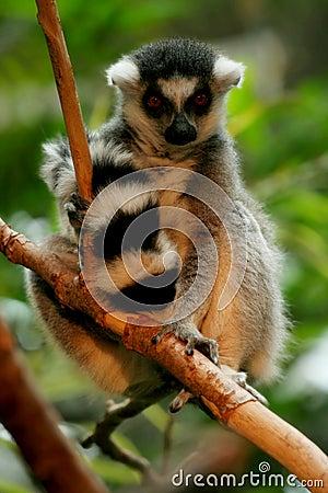 Ringtail lemur perching in tree