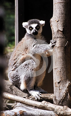 Ringtail monkey