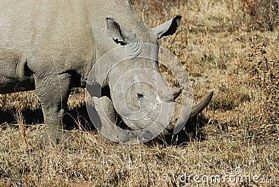 Rinoceronte in Africa