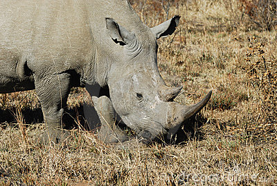 Rinoceronte em África