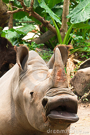 Rinoceronte grande da boca
