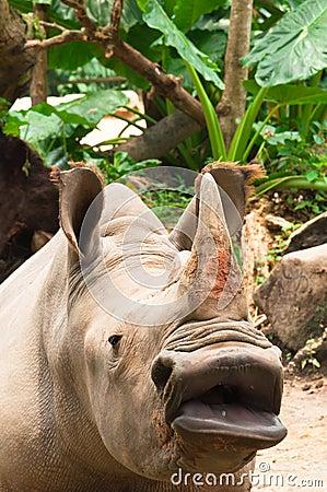 Rinoceronte grande de la boca