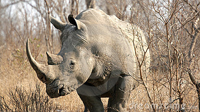 Rinoceronte, sosta nazionale di Kruger, Sudafrica