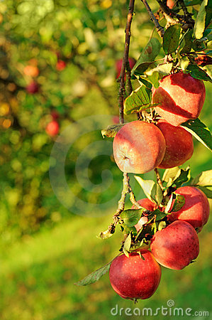 Free Ripe Apple Fruit Royalty Free Stock Photos - 12595238
