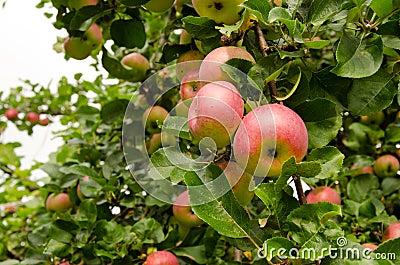 Ripe Apple Hang On Fruit Tree Branch. Healthy Food Royalty ...