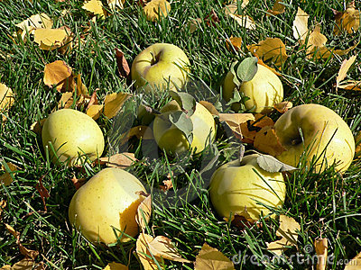 Ripe apples on the grass