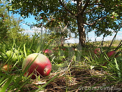Ripe apples in orchard